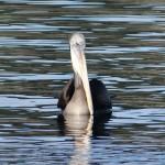 Ganz schön gross so ein Pelikan