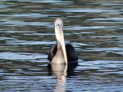 05 Pelican in Puerto Montt - Best Of 16
